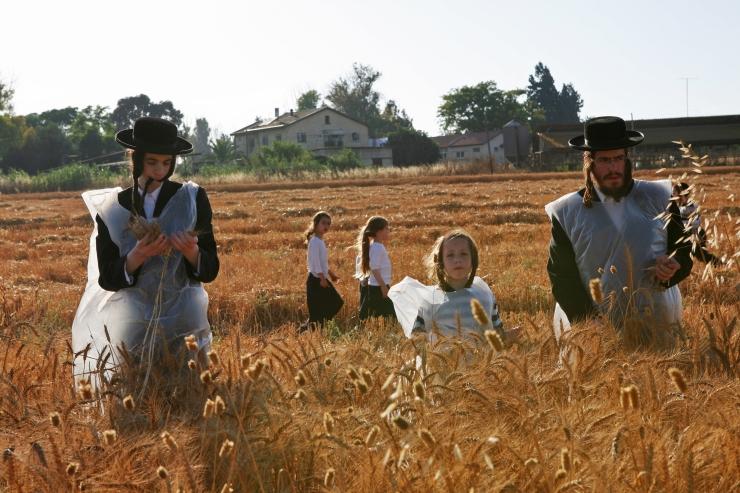 Tarweoogst voor de Matzah Shemurah. De Matzah Shemurah is gemaakt van graan waarop ten zeerste wordt toegezien dat het niet in contact komt met vocht. De matzah wordt gegeten tijdens Pesach - het feest van de ongezuurde broden. Foto gemaakt in de chassidische mosjav Komemiyut in 2007.Foto: Menahem Kahana.