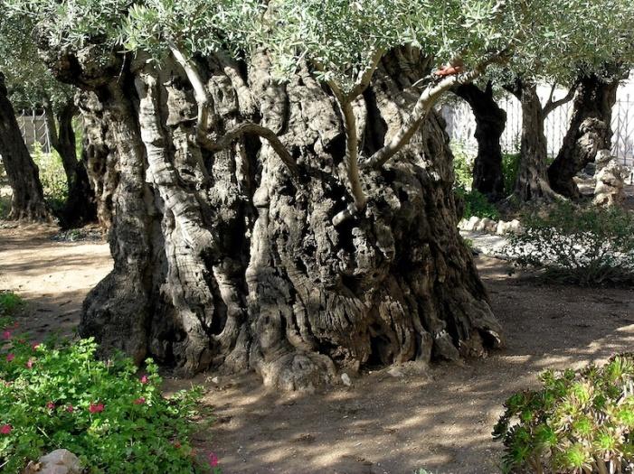 Een van de eeuwenoude olijfbomen in de Hof van Gethsémané. Foto: © Alfred Muller