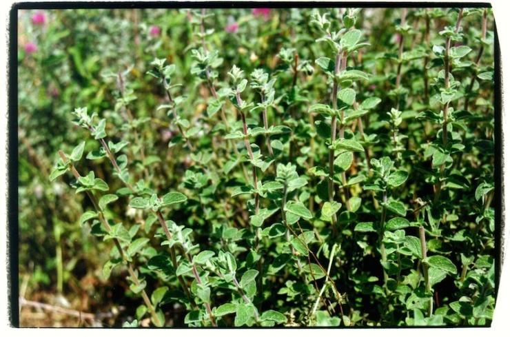De nederigste plant van het land: de ezov of hysop.