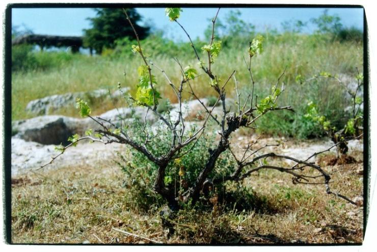 Een wijnstok met nog kleine ranken. Wijngaarden werden vooral aangelegd op heuvelranden.
