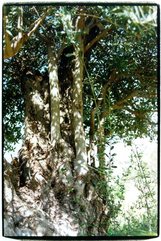 De stam van de olijfboom met boter (kleine stam), die eruit groeit. Deze zijtak werd als herdersstaf gebruikt.