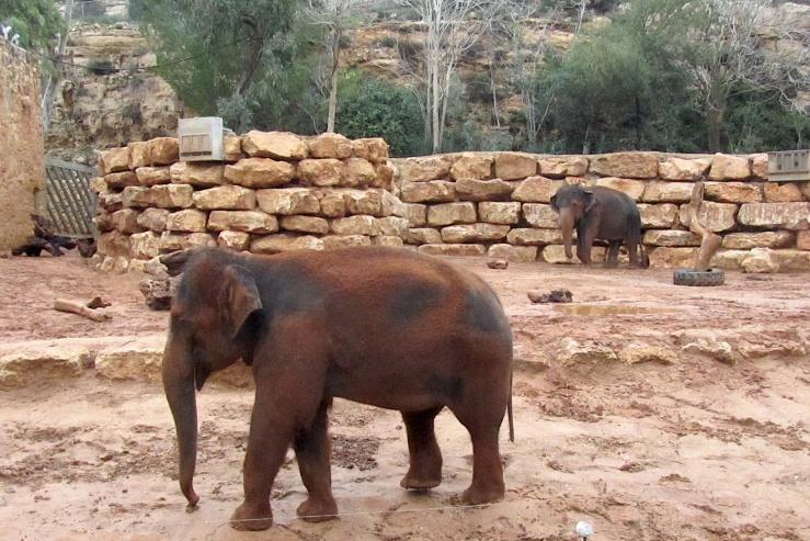 Dierentuinen wereldwijd doen hun best de Aziatische olifant te beschermen.