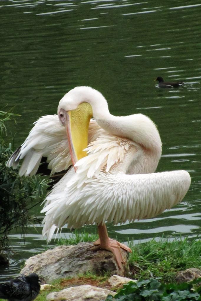 De witte pelikaan (Pelicanus Onocrotalus).