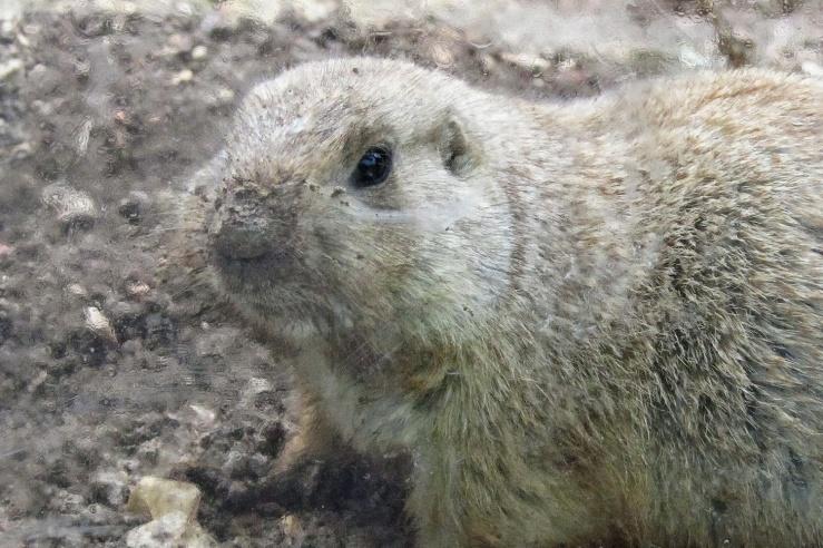 De prairiehond (Cynomys ludovicianus) komt voor in Noord-Amerika. Foto: Alfred Muller