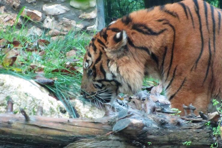 De Aziatische tijger.