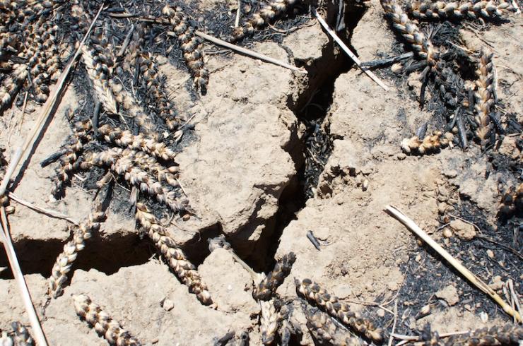 Verbrand tarweveld bij kibboets Nahal Oz.