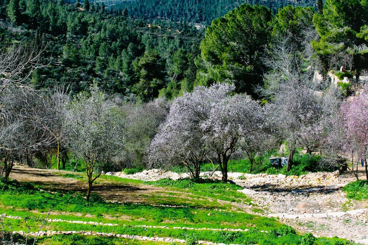 Amandelbomen ten westen van Jeruzalem in bloei